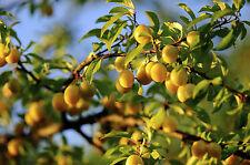 Plum 'Mirabelle de Nancy' 4-5ft Tall Tree, Self-fertile Incredibly Sweet Honey