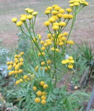 Tall, Fabulous, Button Yarrow, Plant in Fall, 500 Fresh Seeds🔥CabinFeverTraders
