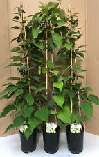 1X 3-4FT EXTRA LARGE KIWI FRUIT PLANT - ACTINIDIA JENNY SELF FERTILE - 3L POTTED