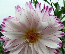 Beautiful White Purple Edge Dahlia Flower Seeds 100 SEEDS