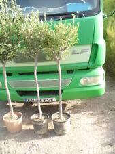 Olivenbaum, Stiel rustikal, Olea europaea ca.140-160 cm h, Stammumfang 8/12 cm
