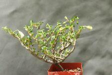sarcocaulon vanderietiae mini Tree Succulent Bonsai drought tolerant large
