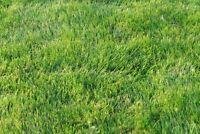 Emerald  Zoysia Grass Seeds/  Lawngrass 1/8 LB