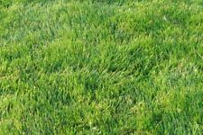 Emerald Zoysia Grass Seeds/ Lawn grass 1/8 Lb