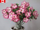 Adenium obesum (Desert Rose) Seeds - Free Shipping, Rare Seeds, Gift, Easy