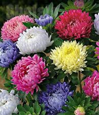 100pcs/Bag Aster Flower Seeds Rainbow Chrysanthemum Seeds Perennial Flowers Seed