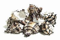 "Black Murex Phyllonotus erythrostomu Hermit Crab Sea Shell 5"" - 6""(12 pcs)#JC-35"