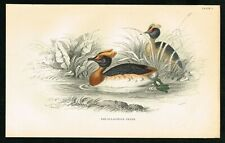 1840 Slavonian Horned Grebe, Hand-Colored Antique Ornithology Print - Lizars