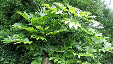 2 HARDY Fatsia japonica plugs Wildlife Evergreen Coastal shade shrub plant