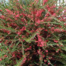 grevillea juniperina pot 3 litres 40/60 cm