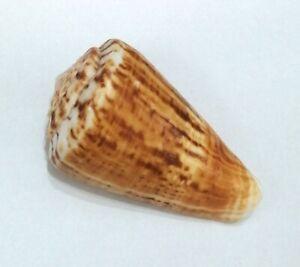 Conchiglia Shell CONUS PELI Oman 93,1 mm SUPER SIZE # 8)