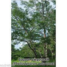 Velvet Amour seeds 7 seeds Ukraine Phellodуndron amurуnse Garden decor
