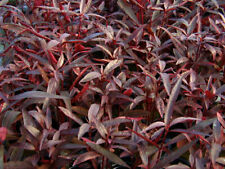 Alternanthera sessilis rubra plante aquarium rouge