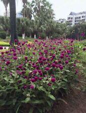 GOMPHRENA SEEDS - Las Vegas Purple - Annual - Globe Amaranth - 50 Seeds