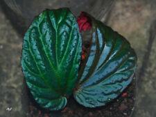 Begonia metallicolor (bouture racinée)