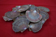 """15 Large Mexican Flat Scallop Shells  3"""" to 3 1/2"""""""