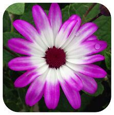 Senecio Senetti Pink Bicolor Large Plug Plants x 3