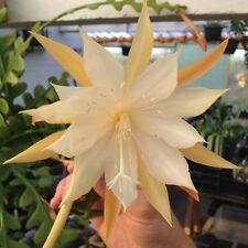 Epiphyllum anguliger - Fishbone Cactus - Cutting (unrooted) - Sunnyplants