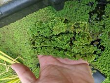 Azolla Floating fern Pond and fish tank plants