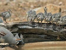 6 Gambel Quail Hatching Eggs