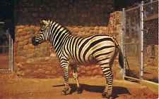 Vintage SAN DIEGO ZOO California AFRICAN ZEBRA LM-4 Color Postcard UNUSED
