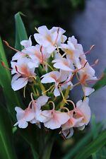 Hedychium Peach - 1 plant - rustique