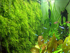 Xmas Moss - Live Aquarium Plant Java Fish Tank Fern Aquatic Seed Garden Pond A1