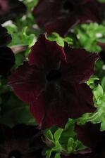 Petunia Sophistica Blackberry Pelleted Seeds