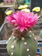 20 SEEDS.fresh. Astrophytum  asterias maroon flowers. Own greenhouse.