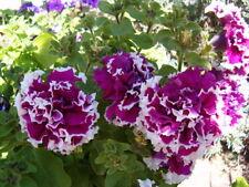 Petunia Seeds 50 Seeds Pelleted Purple Pirouette Petunia Purple Piroutte