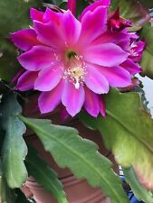 Epiphyllum Orchid Cactus ' SPACE ROCKET ' - Cutting
