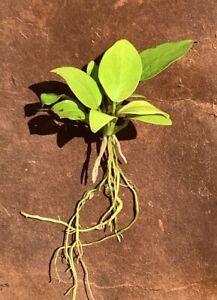 Live Aquatic Plant   Anubias nana 'Golden'   Emerged Rhizome With 5+ Leaves