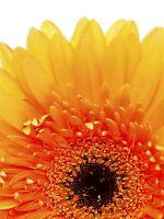 ART PRINT PHOTO MACRO NATURE PLANT FLOWER GERBERA DAISY ORANGE PETALS LFMP0146