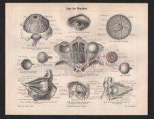 Lithografie 1897: Auge des Menschen. Linse, Pupille, Iris, Augapfel, Sehnerven