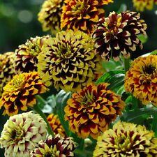 Kings Seeds - Zinnia Haageana Jazzy Mixture - 100 Seeds