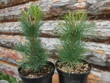 LIVE Pine TREE 15-40 cms