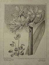 1805 DATED FLOWER PRINT ~ SEA PANCRATIUM ~ ALPINE SOLDANELLA