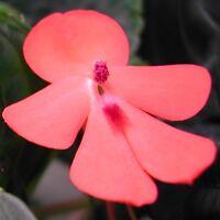 Extremely rare - Beautiful Impatiens cinnabarina! - Unusual tuberous Impatiens