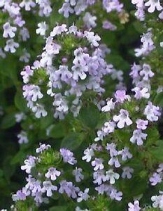 1000 LEMON THYME Thymus Citriodorus Herb Flower Seeds + Free Gift & Comb S/H
