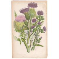 Anne Pratt antique 1860 botanical print Flowering Plants Pl 116 Plume Thistle