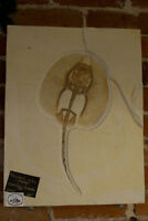 """Heliobatis Radians """"Stingray"""" Fossil 50myo from the Green River Formation in Wyo"""