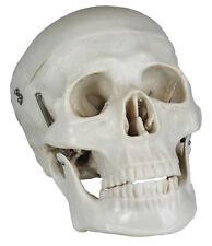Skelette & Knochenmodelle
