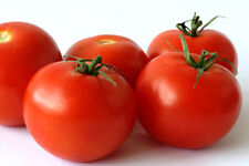 25+ Cocktail Size Sweet Campari Tomato Seeds-R 077