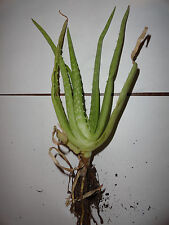 Cactus Aloe Vera - Medicine Plant - Very good for Burn, Cough, and much more