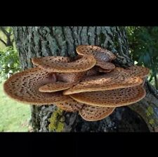 Polyporus squamosus Trutovik flake Mushroom Spawn Spores Seeds Mycelium.