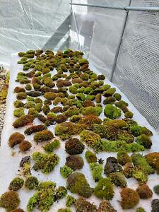 Live Moss & Liverwort. 11 Different Types. Garden Lawn Terrarium. BUY2GET 1 FREE