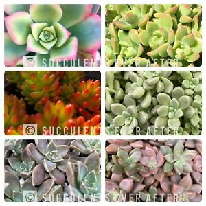 ⭐️20x Succulent Cuttings⭐️ No Repeats-FREE GIFT & FREE POSTAGE