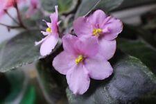 African Violet Mindi Brooke Vintage 2 leaves