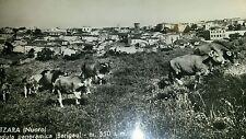 ATZARA (NUORO Barbagia Mandrolisai Sardegna) pastore/mandria buoi-viaggiata 1961