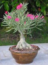 5 seeds Adenium,Solid Pink, Arabicum, Desert Rose